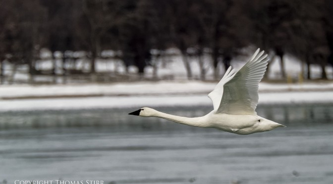 Photographing Birds on the Niagara River in Winter