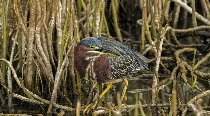 Images of Green Heron with Nikon 1 CX 70-300