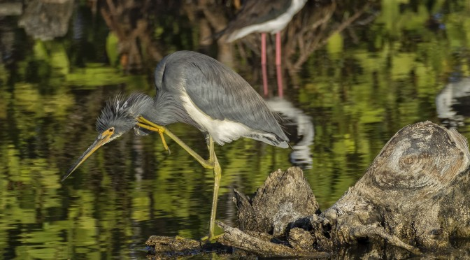 Photographing Heron in Cuba