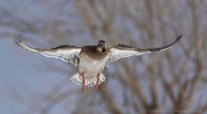 Birds-in-Flight Images with Nikon 1 V3