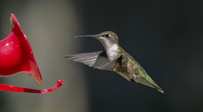 Photographing hummingbirds in flight without using flash