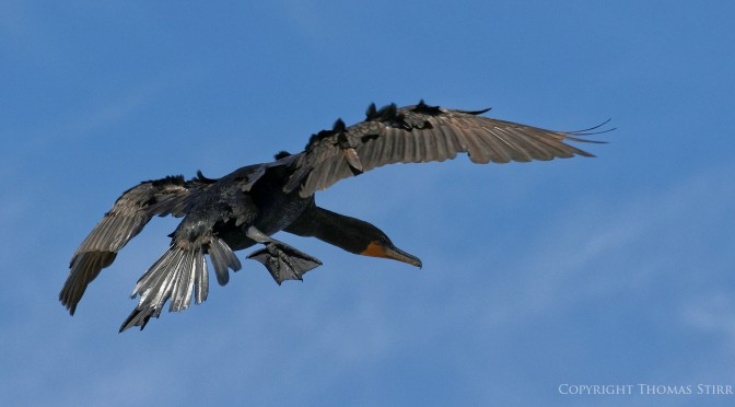 Cormorants in flight with Nikon 1 J5