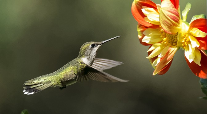Hummingbirds in flight with Nikon 1