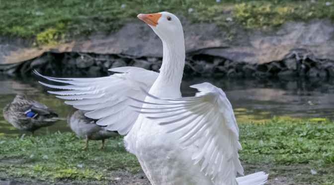 Goose Beating Wings at 15fps