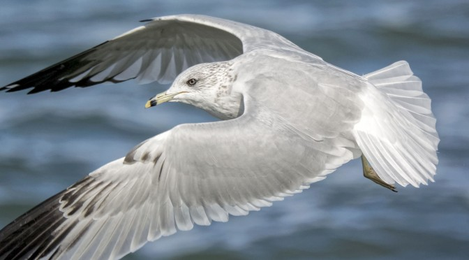 Practicing bird-in-flight images with gulls