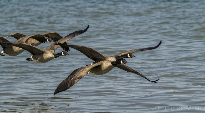 Capturing images of geese in flight