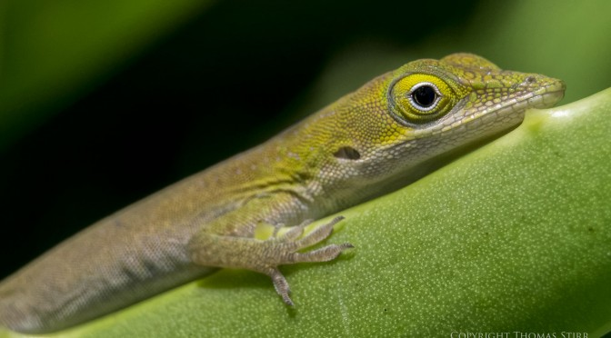 A treasure trove of little lizards