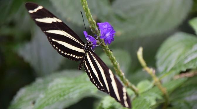 Butterflies in slow motion with Nikon 1 J4