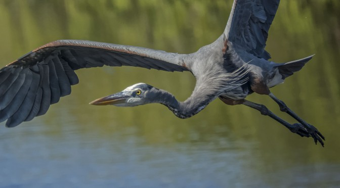 Great blue heron in flight at 15fps