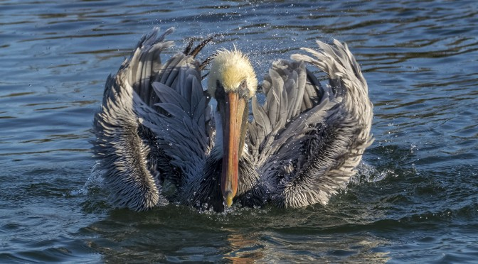 Photographing pelicans with Nikon 1