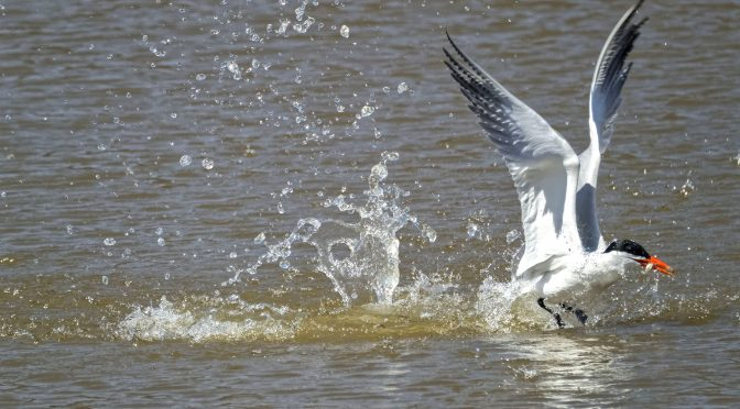 Terns flying, fishing and juggling