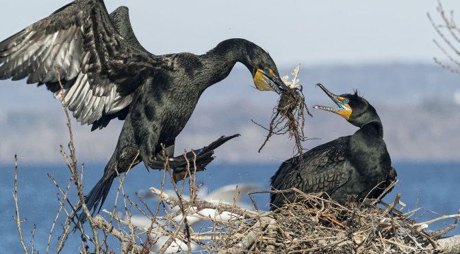 Cormorant nesting behaviour