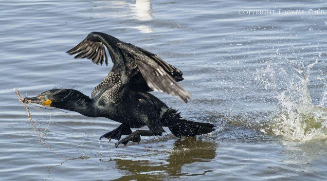 Cormorants taking off from water