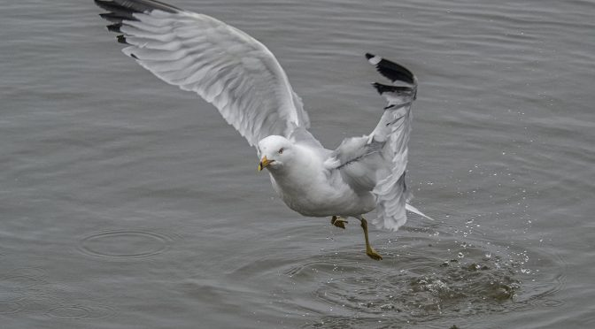 Gull airborne at 60fps