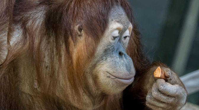 Orangutan Portraits