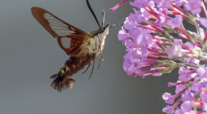 Hummingbird Clearwing Moth 60fps