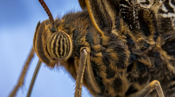 Photographing butterflies with a minimum of gear
