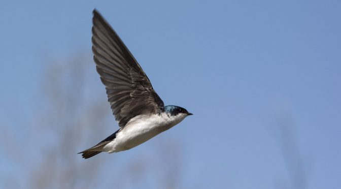 Photographing Swallows in Flight Using AF-A