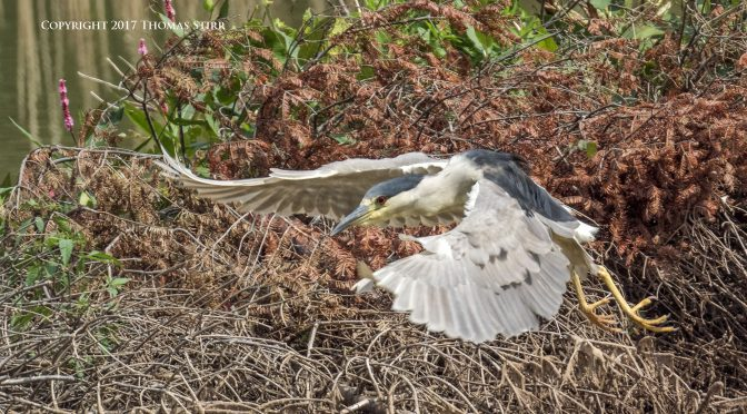 Photographing a Night Heron Landing