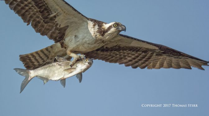 Photographing Osprey Catching Fish