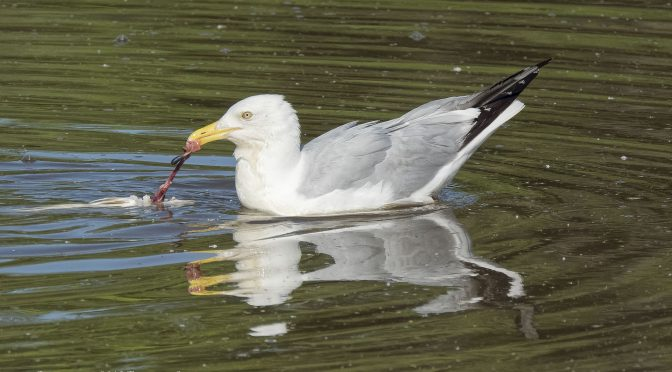 Gull Eating Floating Fish