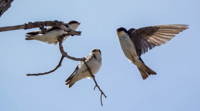 Swallows with Fledglings