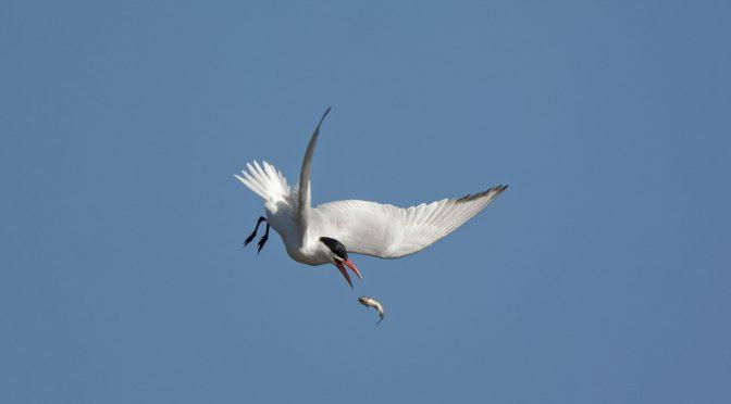 Tern Retrieving a Fish in Mid-Air