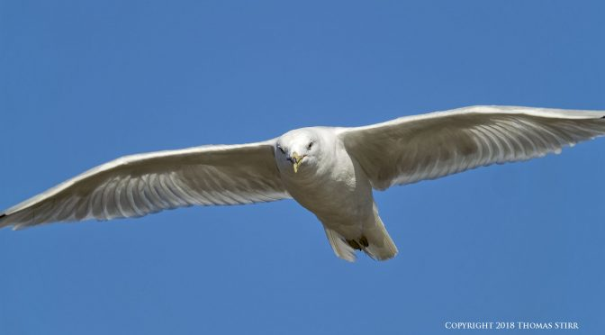 Nikon 1 V3 Versus V2 for Birds in Flight