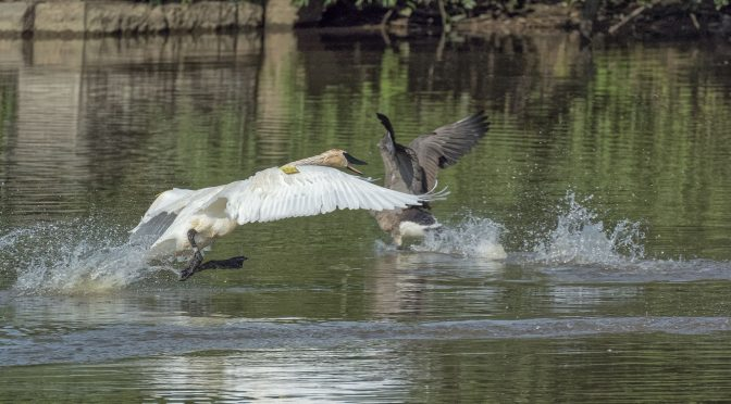 Aggressive Swan Chasing a Goose