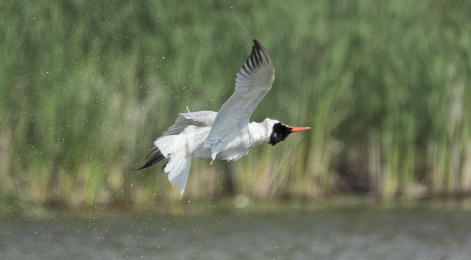 Tern Doing Mid Air Shake