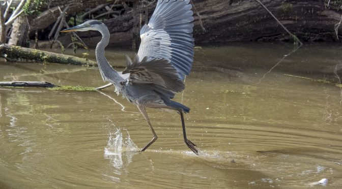 Great Blue Heron Appearing to Walk on Water