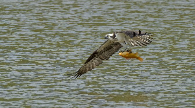 Osprey Catching a Large Goldfish