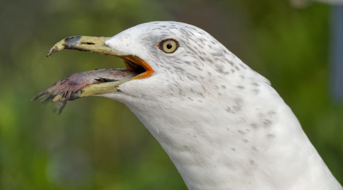 Gull Swallowing a Fish at 15 FPS