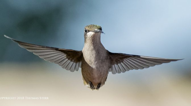 Photographing Hummingbirds Near Feeders