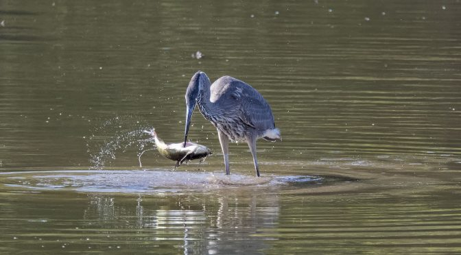 Heron's Patience is Rewarded with a Meal