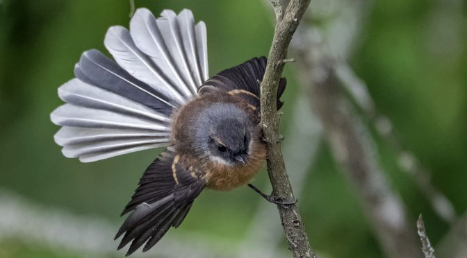 New Zealand Fantail at the Blue Spring
