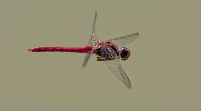Tips on Photographing Dragonflies Hand-held