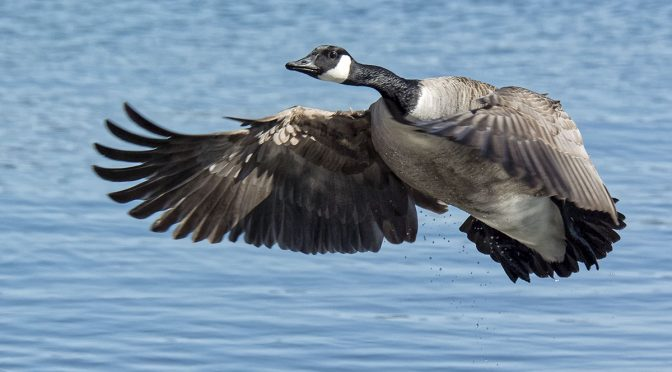 Goose Taking Off From Water at 30 FPS