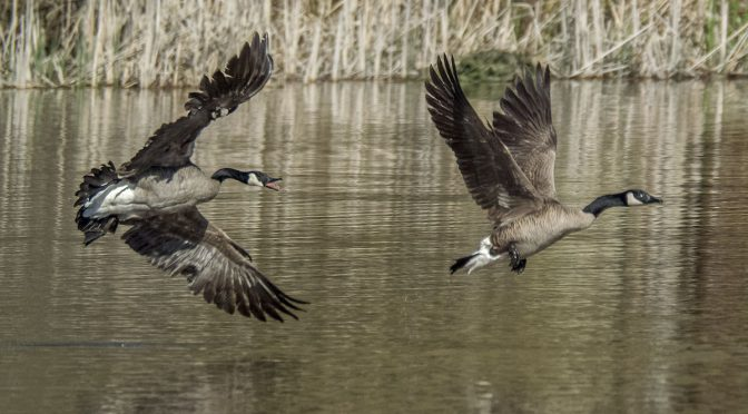 Goose Chase at Hendrie Valley
