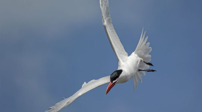 Watching Tern Tail Feathers