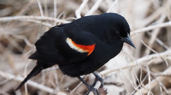 Photographing Red Winged Blackbird with Olympus OM-D E-M1X