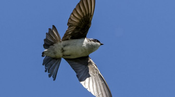 E-M1X Swallows in Flight Images
