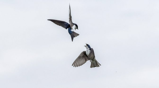 Swallow In-Flight Altercations