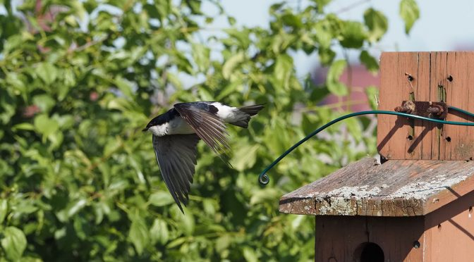 Photographing Swallows with E-M1X Pro Capture