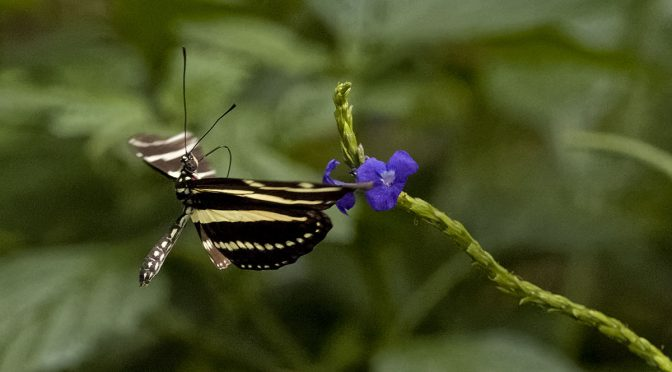 Photographing Captive Butterflies in Flight