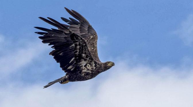 In-Flight Eagle