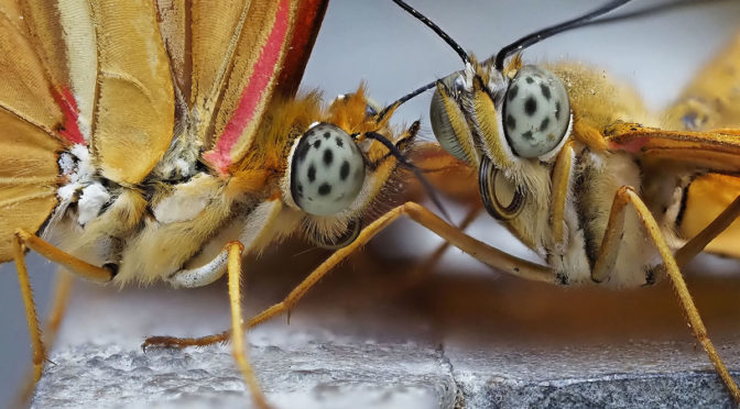 Handheld Focus Stacked Macro Butterfly Images