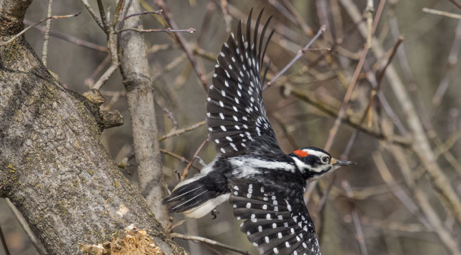 Woodpecker Taking Flight
