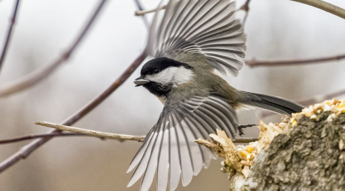 Fun with Chickadees