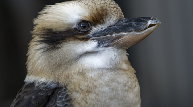 Laughing Kookaburra HHHR